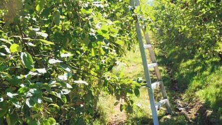 Nem mindegy, hogyan mászik fára – biztonságban a gyümölcsösben