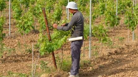 Feketefoglalkoztatás: csökkenés tapasztalható a mezőgazdaságban