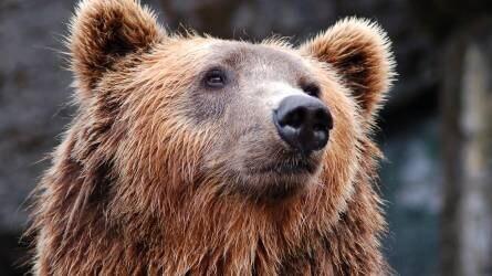 Magyarországi vadászra támadt a medve egy hajtáson