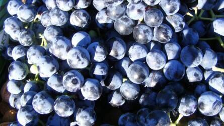 Othello, Noah: továbbra se készülhessen bor ezekből a szőlőkből!