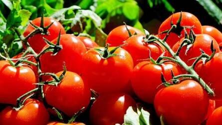 Géntechnológia: hamarosan csípős paradicsomot is fogyaszthatunk!