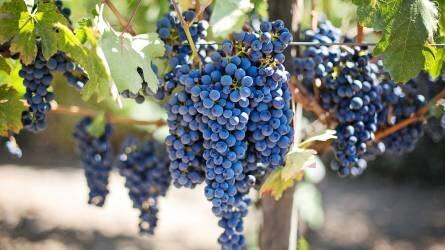 Kalifornia elesett – spanyol szőlő megy Kínába