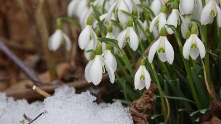 Mindent a hóvirágról