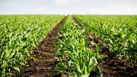 Kipróbált megoldások a kukorica gyomirtására