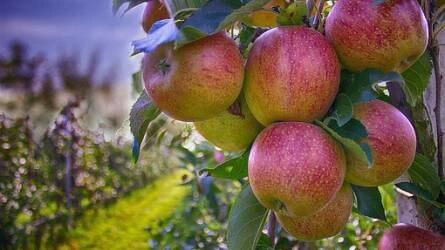 Méltatlanul elfeledett régi almafajták