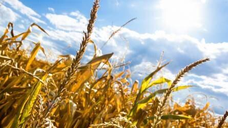 Drágulást és termés kiesést eredményezhet az aszály