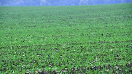 Indokolt a nitrogén újbóli adagolása, jöhetnek a sárga rovarcsapdák is