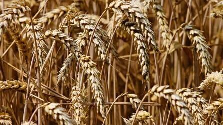 Szakmázzunk a BAYER-rel - Egy biztos pont a kalászosok termesztéstechnológiájában