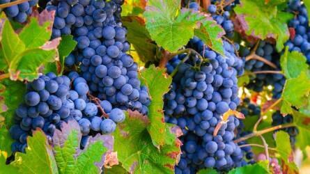 Megváltoznak a szőlő-gyümölcs szaporítóanyag címkék