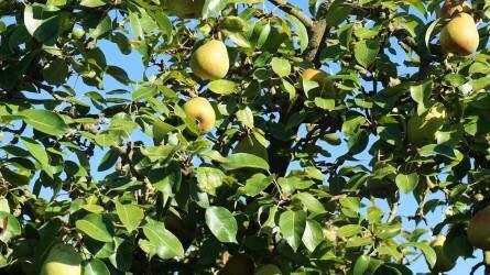 Hazánkban közel 36,3 ezer hektáron van gyümölcsös az Eurostat adatai szerint