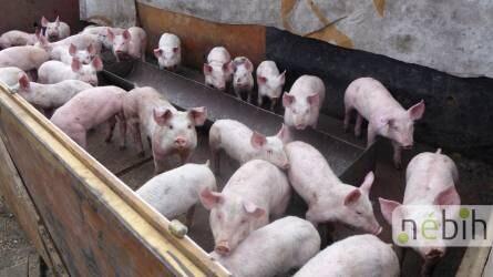 Illegális sertéstelepre bukkantak Pest megyében