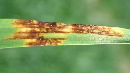 Az árpa gombás eredetű betegségei és a védekezés lehetőségei