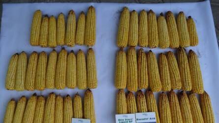 BactoFil + KITEStart – technológia, amelytől a kukorica csőre tölt!