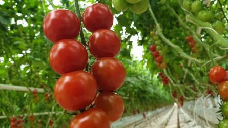Betelepített méhek és ragadozó rovarok segítségével termelik a magyar paradicsomot