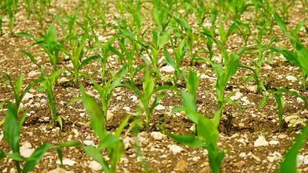 Mikor, hogyan, mennyit vessünk a kukoricából?
