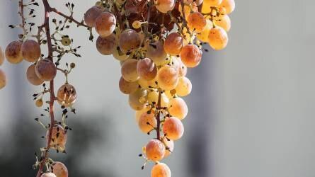 A szőlő bogyóalak változatossága