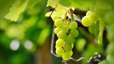 Csemegeszőlők növényvédelme