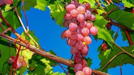 A csemegeszőlő komplett tápanyagellátása és összefüggései (2/1.)