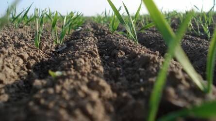 Termésmennyiség alakulása a különböző tőszámmal vetett hibridbúza-állományokban