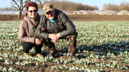 Több ezer szál hóvirágot értékesítettek idén - Engedéllyel termesztik a tavasz hírnökét