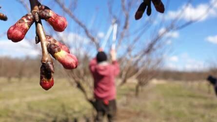 A kajszi metszése szakszerűen - Így lesz sok gyümölcs a fán a nyári időszakban