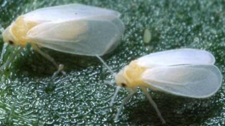 Apró, fehér, lepkeszerű rovarok károsítják a lakásban nevelt növényeket. Mit tehetünk ellenük?