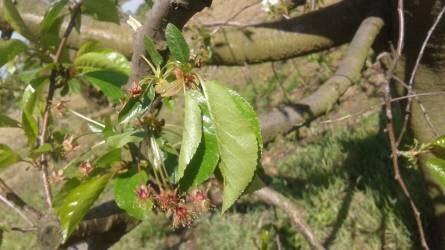 Hogyan védjem meg meggy- és kajszifáimat a virágzás idején a moníliától?