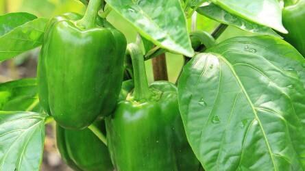 Az étkezési paprika növényvédelme - kártevők a paprikatermesztésben (2/2.)
