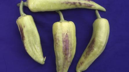 Lila elszíneződés a paprika termésén - Mi okozza a jelenséget?