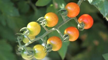 Világméretekben a zöldségágazat húzónövénye: a paradicsom