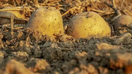 A hazai koraiburgonya-termesztés kialakulása és mai gyakorlata