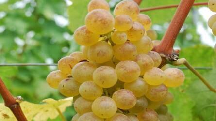 A csemegeszőlő-termesztés növényvédelmi kihívásai
