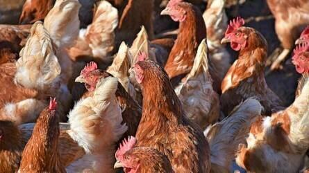 Példaértékű összefogás akadályozta meg az óriás tojófarm létesítését