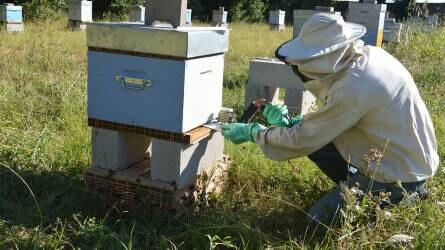 Inváziós kártevők: az ázsiai méhatka