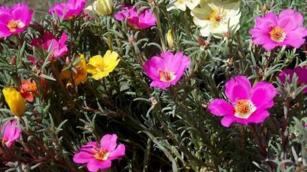 Strapabíró balkonnövények