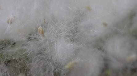 Mindent eláraszt a nyárfák termése! - Hogy lehetne ezt csökkenteni?