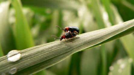 A szárazság továbbra is meghatározó - azért a vetésfehérítő bogarakra érdemes figyelni!