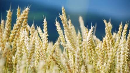 Cherokee – Teljeskörű védelem a sikeres kalászos gabonatermesztés érdekében