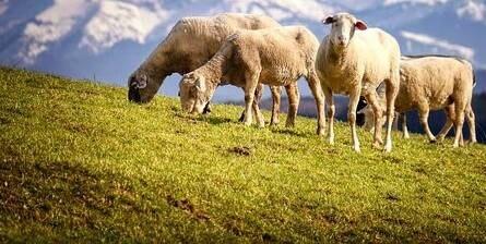 Egy régi tradíció: vándorló pásztorkodás Svájcban