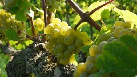 Egy szőlőfajta története - Teutonoktól a Rizling nemzedékig