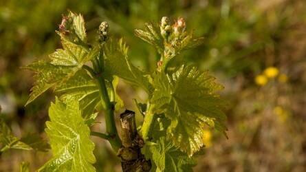 Hogyan védekezhetünk a lisztharmat ellen almában és szőlőben?