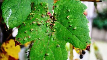 A szőlőn milyen atkafajok fordulhatnak elő? Mit lehet tenni ellenük?