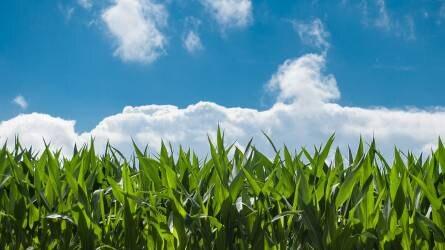 Zeal, a kukorica élettani aktivátora
