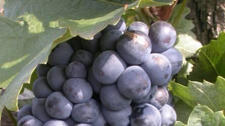 Őshonos szőlőfajták a Duna menti borrégióban