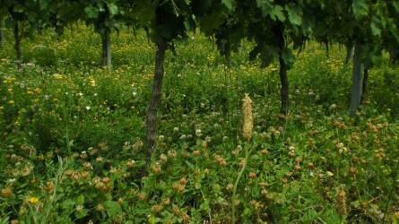 Talajápolás a szőlőben – fókuszban a fajgazdag sorköztakarás