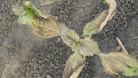 Nyakunkon a szántóföldi növények gyomirtása: veszélyek és kivédésük lehetőségei