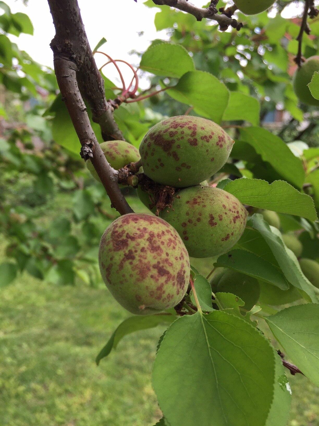 Mi okozza a barna foltokat a leveleken?