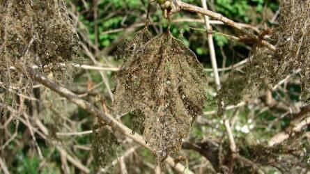 Labdarózsa: mi pusztítja a leveleket?