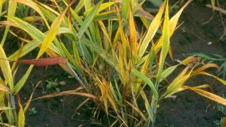 A gabonavírusok szerepe a gyakorlatban