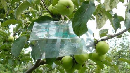 Támad a monília, a tafrina - veszélyben a gyümölcsösök
